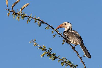 A Damara Hornbill