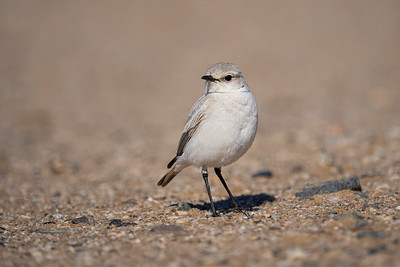 White Morph Tractrac Chat in the Namib Desert