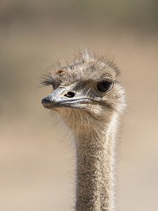 Common Ostrich Portrait