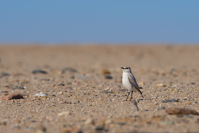 Tractrac Chat - in the Dorab National Park, Namibia