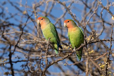 A Pair of Rosy-faced Lovebirds