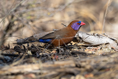 The Violet-eared Waxbill