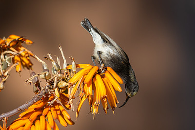 A Dusky Sunbird enjoying a winter bloom