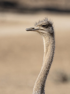 Female Ostrich Portrait