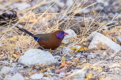 Male Violet Eared Waxbill