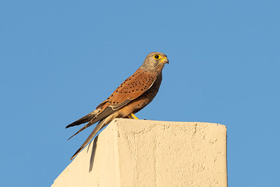 A Rock Kestrel perched up high with his kill