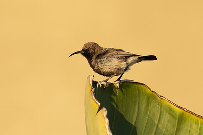 Dusky Sunbird in Golden light at Swakupmond