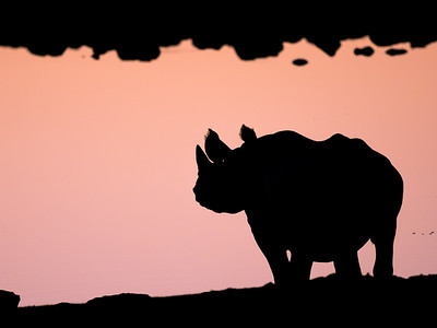 A young black Rhino