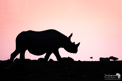 Black Rhino Silhouette at Sunset