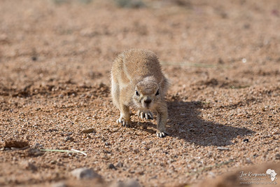 Desert Ground Squirrel Stalking?
