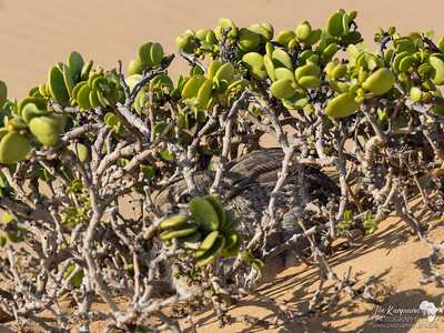 Well hidden Cape Hare