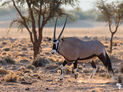 Oryx on a morning stroll