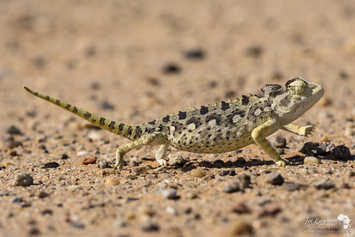 Namaqua chameleon - eyes all round