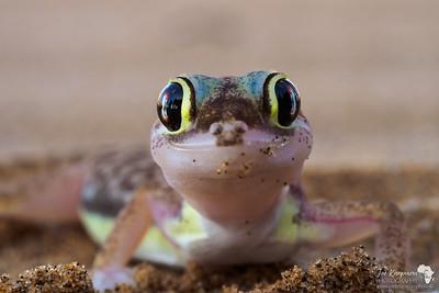 Namib Gecko Portrait