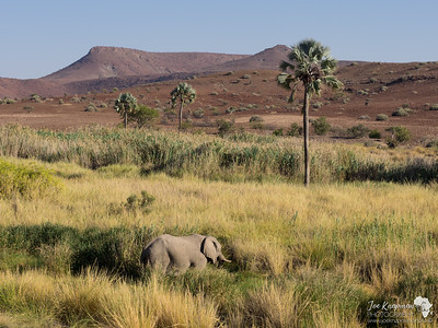 Desert Elephant at Palmag