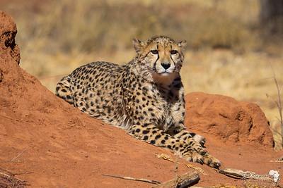 Male on a termite hill