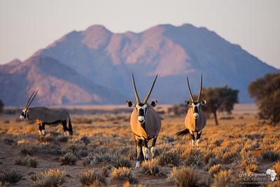Evening Oryx