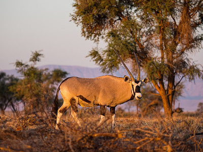 Oryx and Sunset
