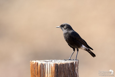 Mountain Wheatear
