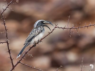 African grey hornbill calling