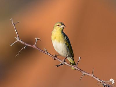 Southern Masked Weaver Bird