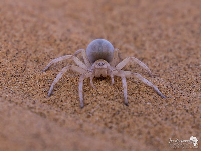 Cartwheel Spider