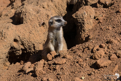 Meerkat emerging from his den