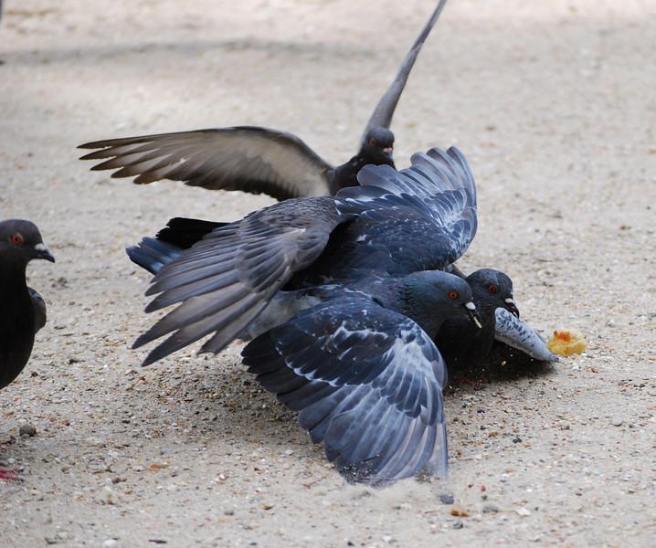 Combat de pigeons pour un morceau de pain