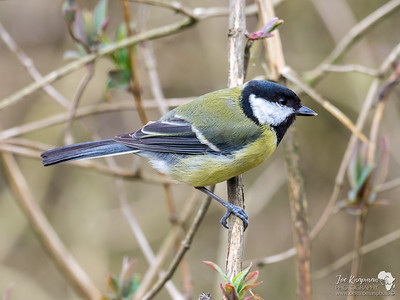Great Tit Profile