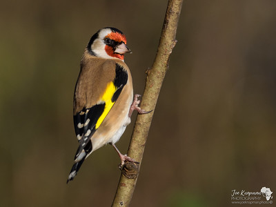 Goldfinch in Winter Sunshine