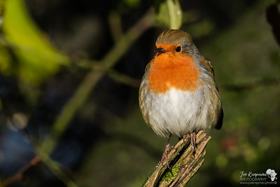 Robin in the Winter Sun