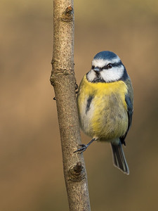 Blue Tit Portrait
