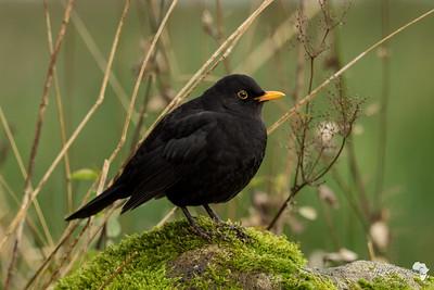 Blackbird in Green