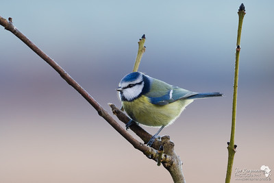 Blue Tit on a Winters Morning