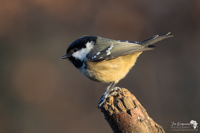 Coal Tit in Winters Light