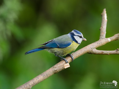 Little Blue Tit