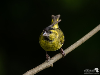 Siskin in the Dark
