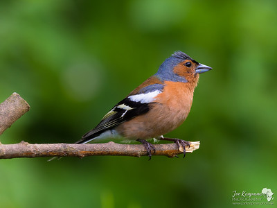 Chaffinch Profile