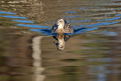 Female Mallard at first light