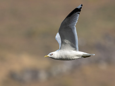 A Common Gull performing a flypast