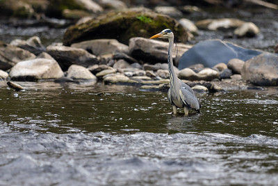 A Grey Heron fishing on the Avon Waters, Hamilton, Scotland