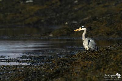 Grey Heron on Loch Leven