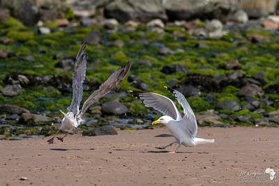 gulls having a go...
