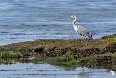 Grey Heron @ Saltcoats