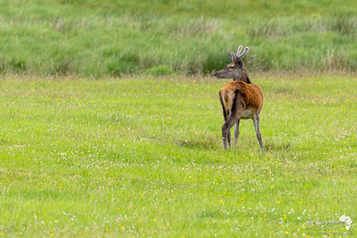 A young male red deer along Glen Etive