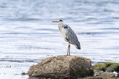 Grey heron sea fishing