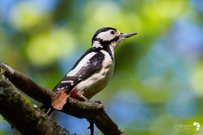 Female Great Spotted Woodpecker