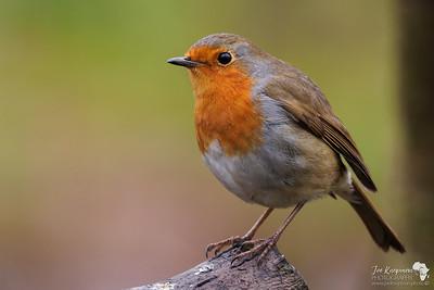 British Robin posing