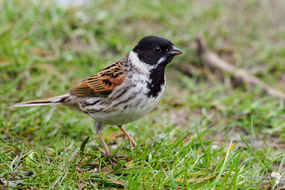 Male Reedbunting