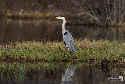 Grey Heron in Boat of Garden, The Scottish Highlands